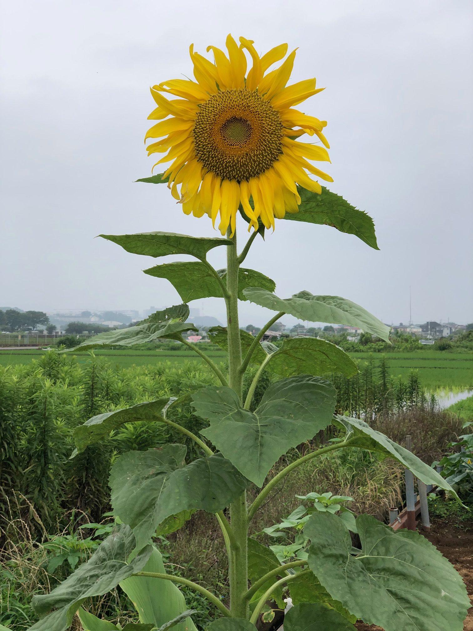 himawari1pon